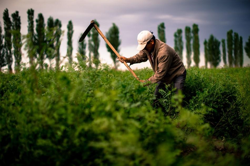 Liquorice farmer in China