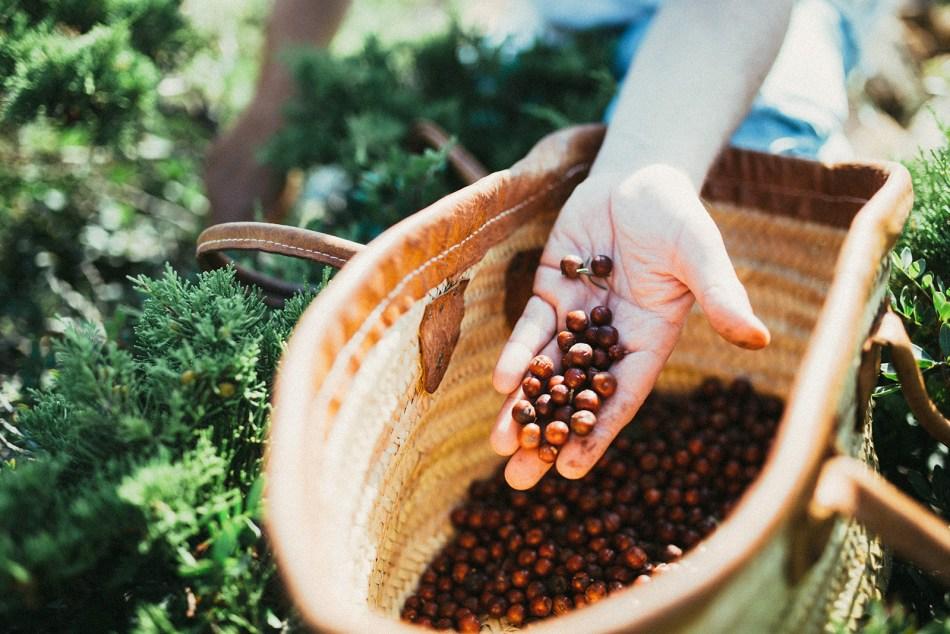 Foraging juniper for Gin Eva on Mallorca