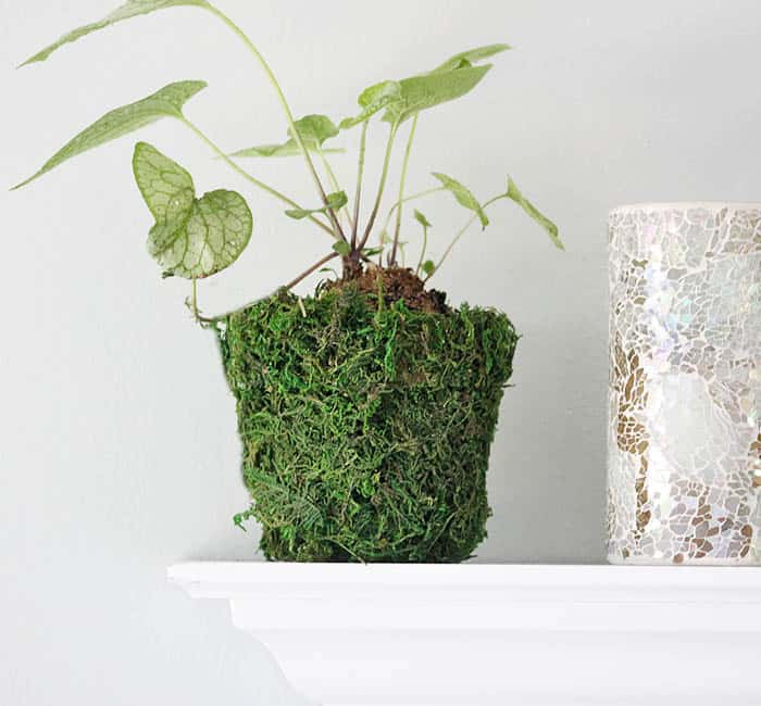 How to cover a terra cotta flower pot with moss