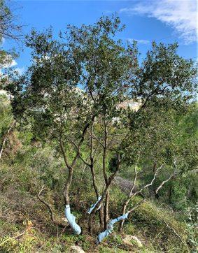 עץ אלון שהשתקם בעקבות גיזום. ואדי עבדאללה (נחל עובדיה), שביל הטרסות של גולדה בחיפה