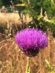 פרח חוחן קוצני