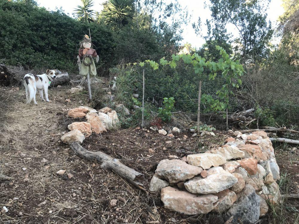 שיקום בוסתן הטרסות בואדי עבדאללה (נחל עובדיה) בחיפה - יחורי גפן כחצי שנה לאחר השתילה. הגדר נדרשת להגנה מפני שפני סלע.