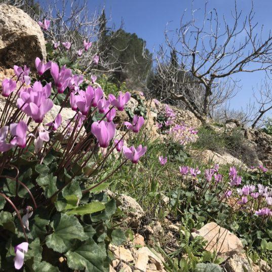 מסלול בחורבות הכפר וולאגה - רכס לבן בהרי ירושלים - רקפות וטרסות
