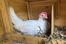 תרנגולת בעבודה