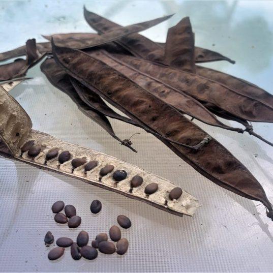 כליל החורש - תרמילים וזרעים (אוגוסט-ספטמבר)