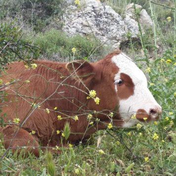טירת הכרמל - נחל גלים - פרה בשדה חרדל, גדילן וחיטה ירוקה