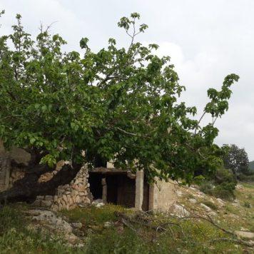 טירת הכרמל - עץ תות