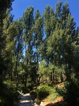 עצי הצפצפה בקיץ