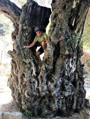 עמק התכלת-עץ זית עתיק