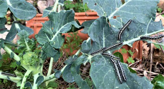 זחלים של פרפר לבנין הכרוב זוללים את עלי הברוקולי. יש למהר ולהסירם עד האחרון שבהם.
