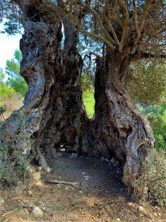 עץ זית עתיק, ליד עין קדם