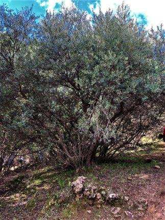 עץ זית שנפגע וגדל עם גזעים דקים מרובים, מפלי פרוד
