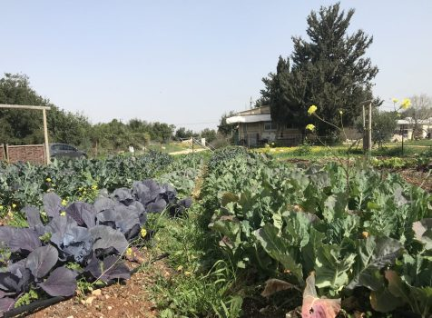 גידול ירקות בגינה הביתית