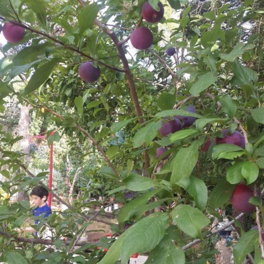 עץ שזיף מניב פרי בתחילת הקיץ