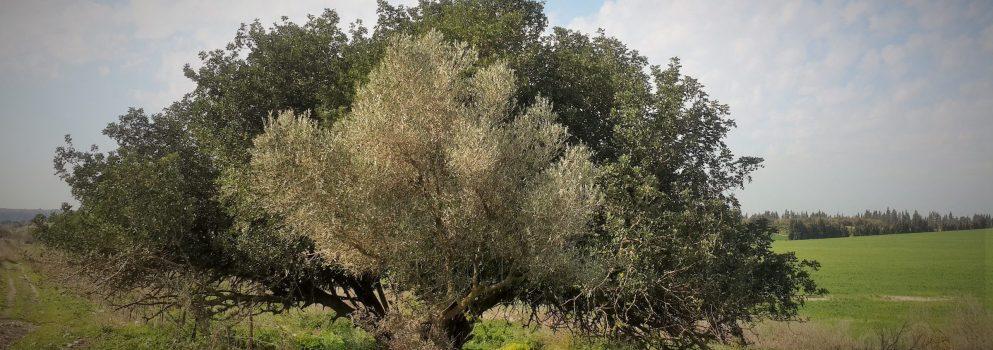 המקאם והעץ הקדוש