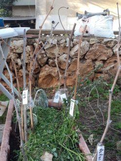 שתילת ייחורי גפן מזני בלאדי שונים באדנית עד להתחזקותם והעברתם לאדמה