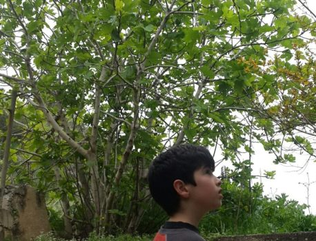 התאנה – עץ גן העדן