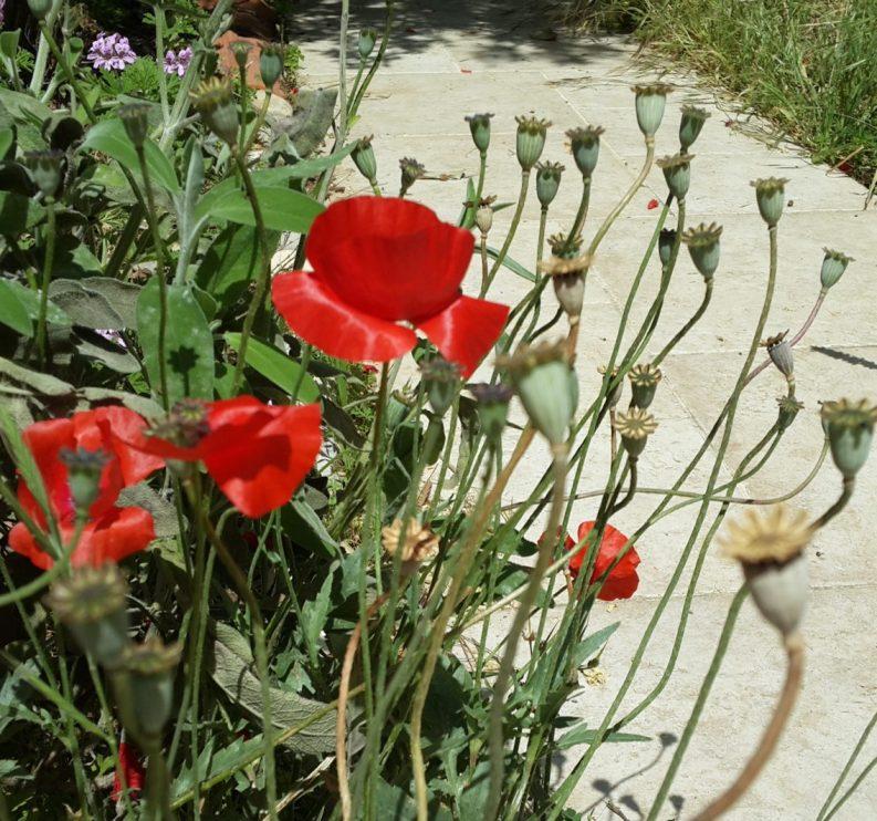 פרגים - בסוף עונת הפריחה לקטי הזרעים מתייבשים והם מוכנים לפיזור טבעי או לאיסוף ידני כדי לשמר זרעים לעונה הבאה