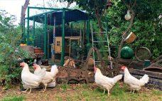 תרנגולות בסיבוב בגינה