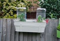Stylish cloches for the tumbling tomato plants