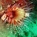 lionfish in musandam