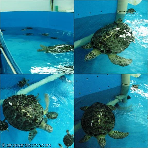 Turtles under Rehab at the Burj