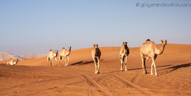 camping camels