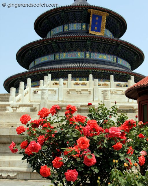 Spring Roses in Beijing