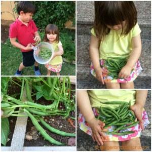 Kids harvesting green beans