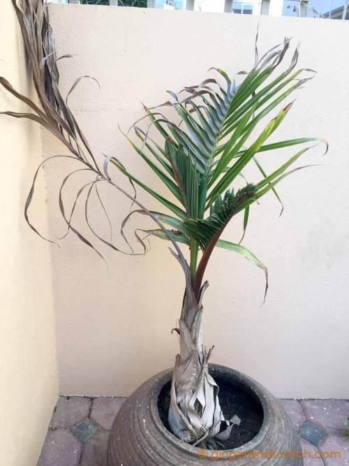 Bottle Palm in Pot - Dubai