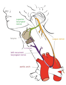Wikipedia Common License: Vagus Nerve