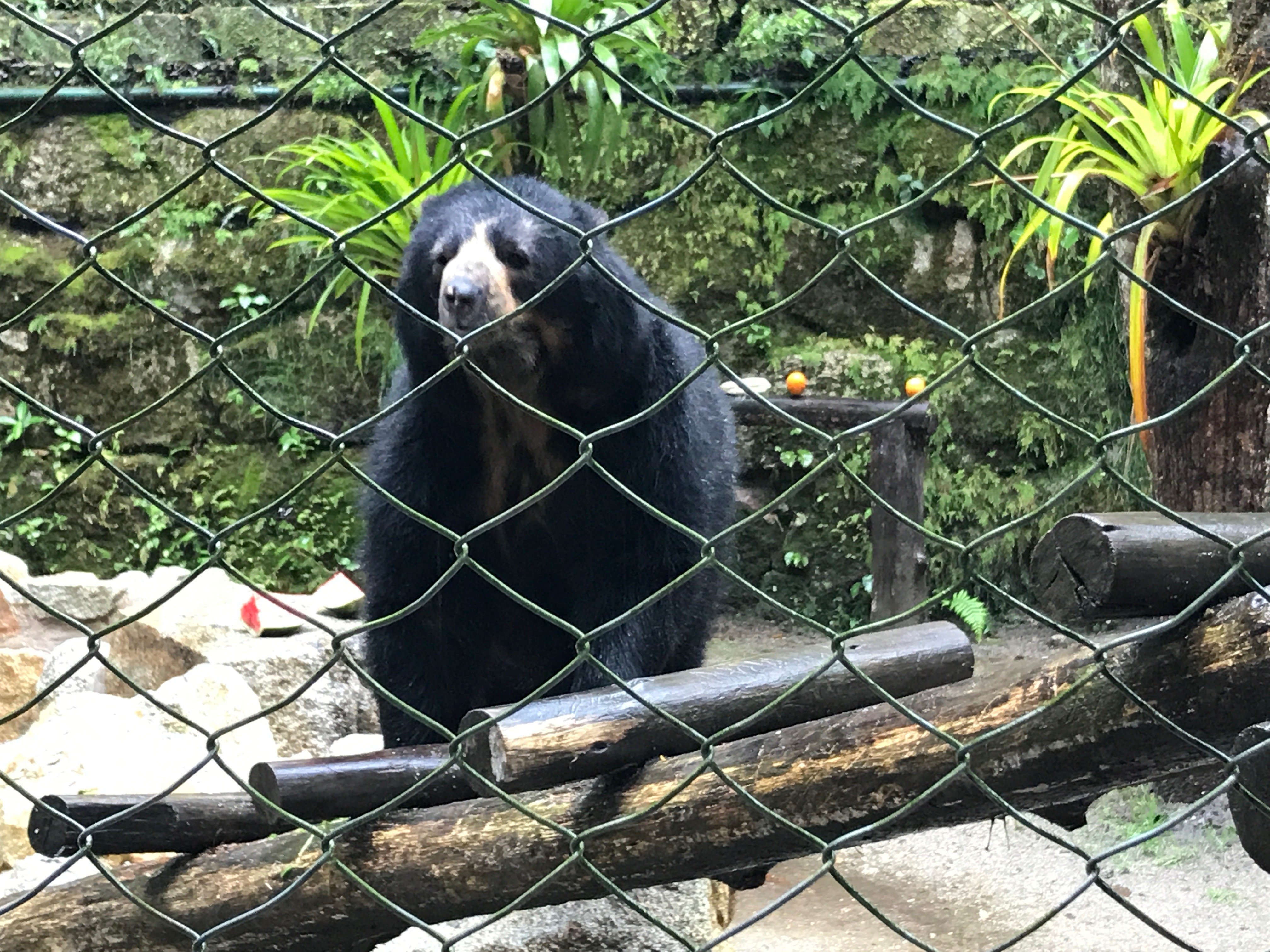 Spectacled bear at the Inkaterra