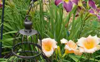 It's Daylily Season at Gingham Gardens – Part 2
