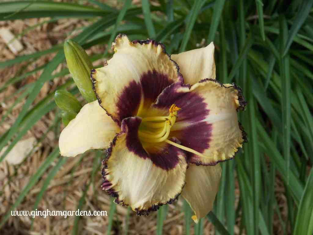 Moonlight Madness Daylily at Gingham Gardens
