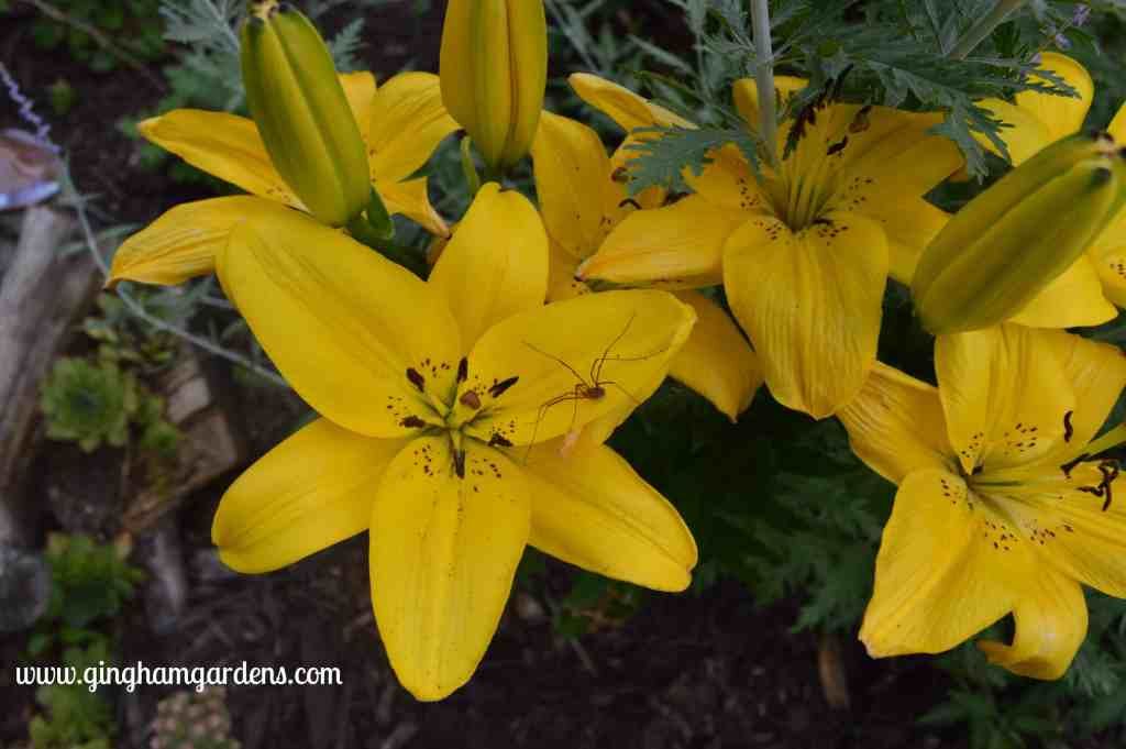 Yellow lilies at Gingham Gardens