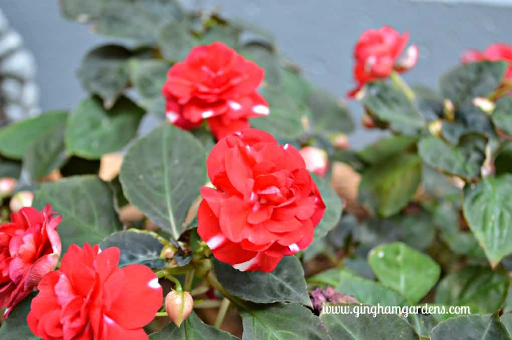 Double Impatiens at Gingham Gardens