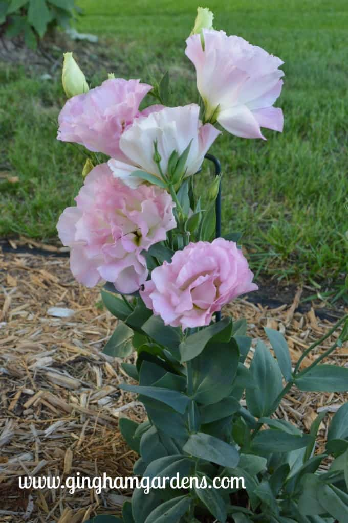 Pink Lisianthus at Gingham Gardens