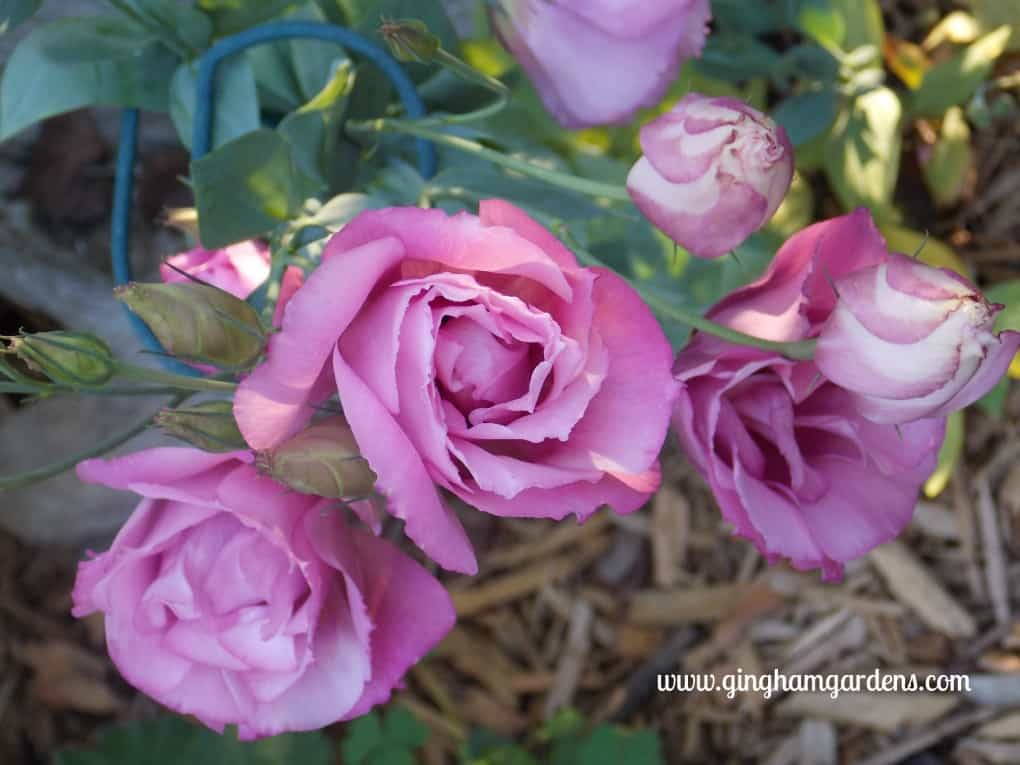 Rose colored Lisianthus at Gingham Gardens