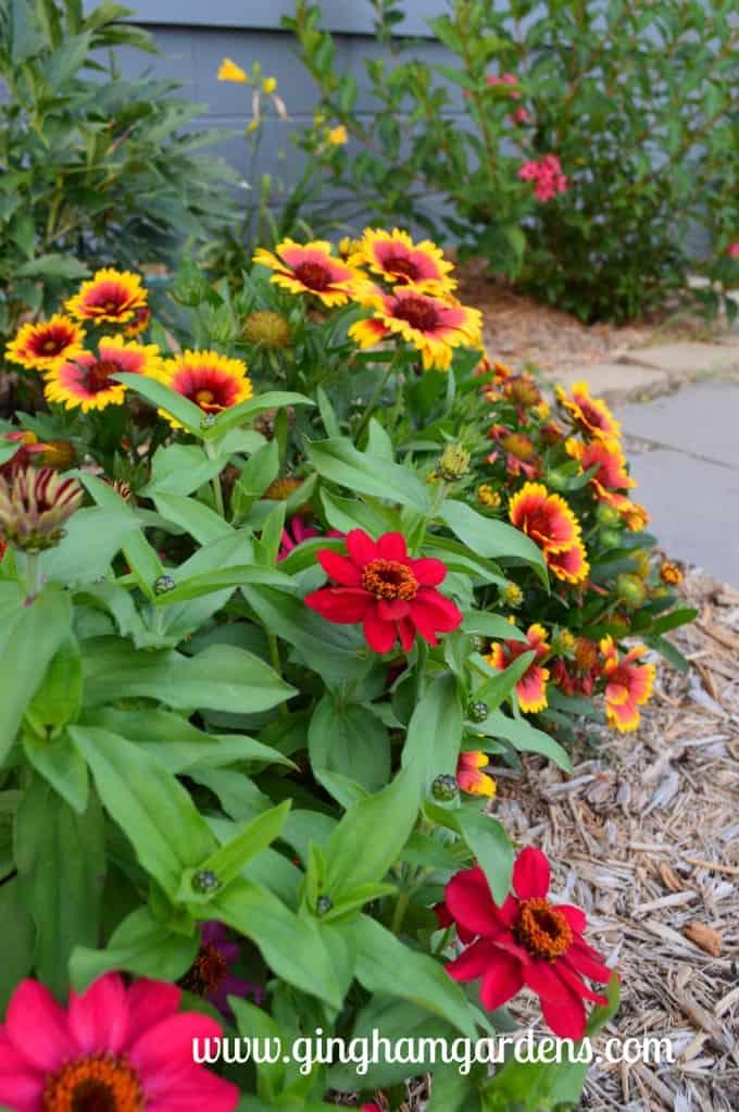 Gardening Recap - Arizona Sun Gaillardia & Zinnias at Gingham Gardens