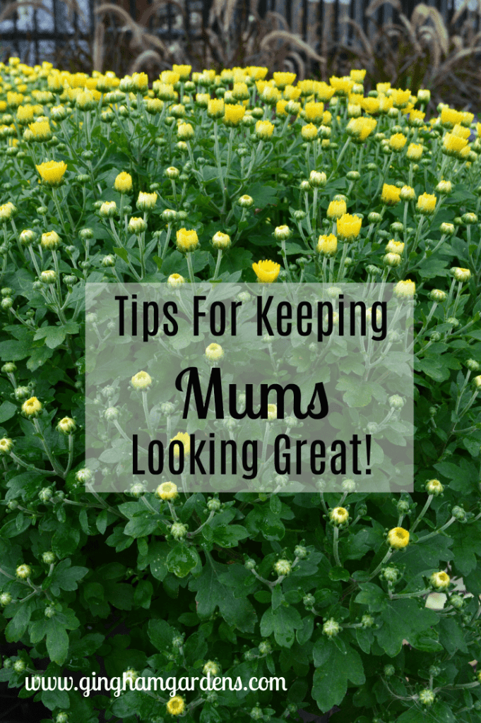 Tips For Keeping Mums Looking Great