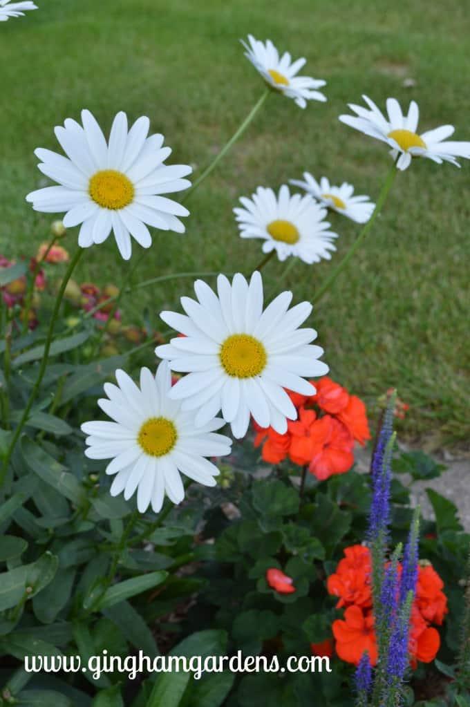 Becky Shasta Daisies at Gingham Gardens Garden Tour