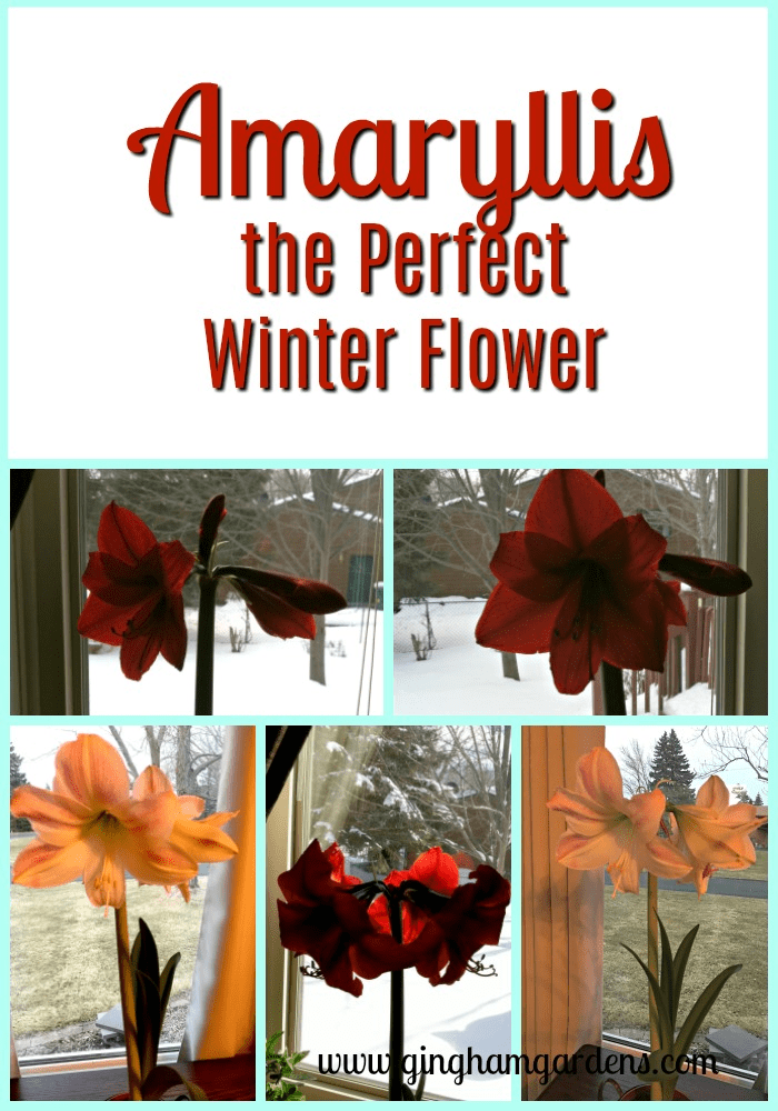 Amaryllis - The Perfect Winter Flower