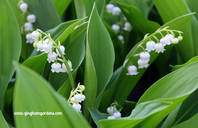 Lily-of-the-Valley - Very Aggressive Perennial