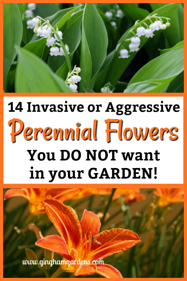 14 Invasive or Aggressive Perennials Flowers You Do Not want in Your Gardens