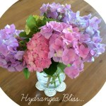 Quick guide to keeping great Hydrangeas