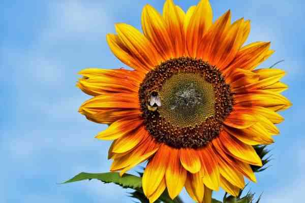 How To Enjoy Sunflowers For Longer