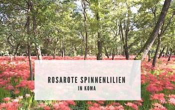 Die rosarote Spinnenlilie in Koma, Saitama