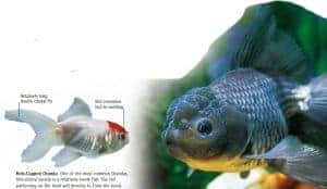 types of goldfish Oranda goldfish