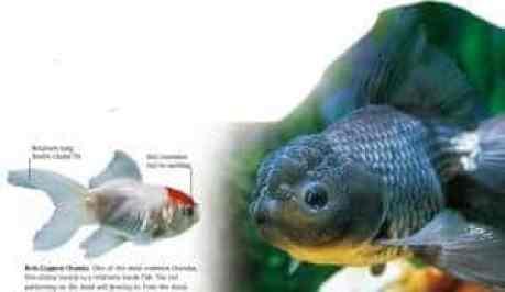 types of goldfish Oranda goldfish
