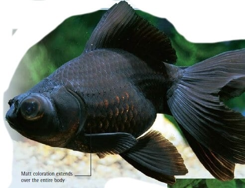 common goldfish black color